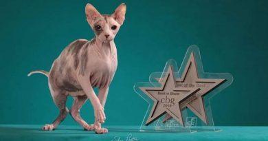 Cuidados em gatos sem pelo no banho e tosa